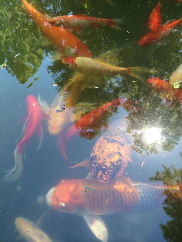 koi-pond-sunday-reading